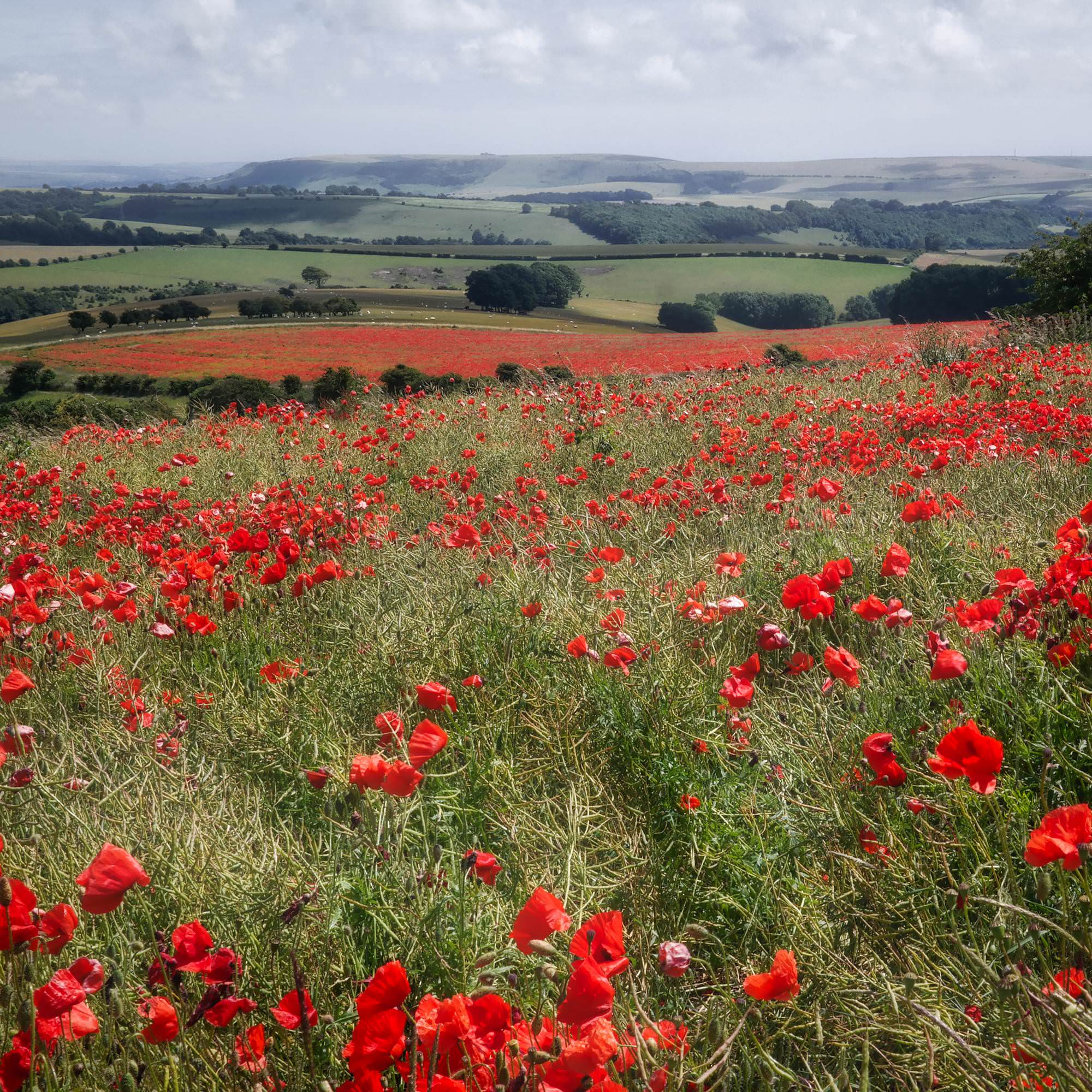 Poppies in Sussex